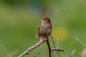Wren: not rare, but rarely this cooperative