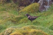 A female Ring Ouzel gathers worms