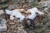 If you're missing the Jeremy Kyle Show, try Gannets
