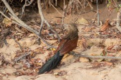 Malagasy Coucal