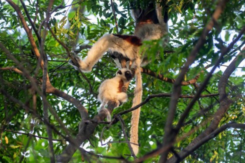 This baby Sifaka just wanted to climb onto its mum, but was made to practice jumping from bough to bough.