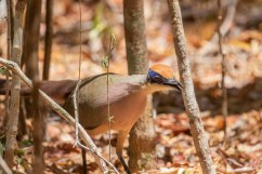 Red-capped Coua