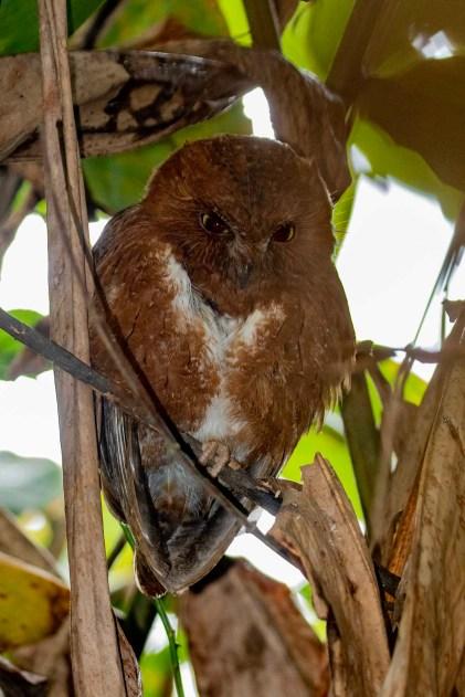 Rainforest Scops Owl