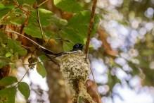 Malagasy Paradise Flycatcher