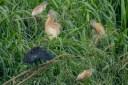 Back in Tana, Squacco and Black Herons