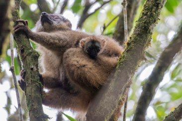 Red-fronted-Brown Lemur