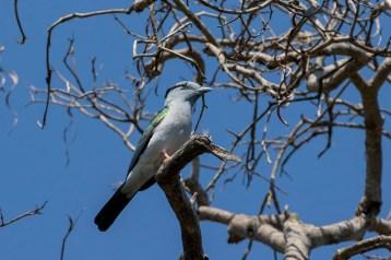 Cuckoo Roller, a very strange bird indeed