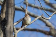 Japanese Waxwing (there a was a Bohemian Waxwing in the flock as well).