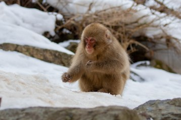 Japanese Macaque - there was a bit of snow