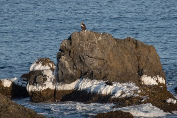 A Steller's Sea Eagle and Sea Otter