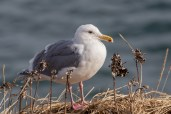 Glauous-winged Gull