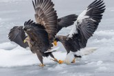 The Steller's Sea Eagle may be slower, but it'sfar more powerful in an arm wrestle.