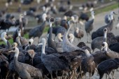 A White-naped Crane squares up to a Common Crane in the crowd of Hooded Cranes