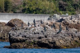 Great and Japanese Cormorants