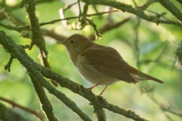 This Nightingale kept us entertained for about 10 minutes, only showing itself once