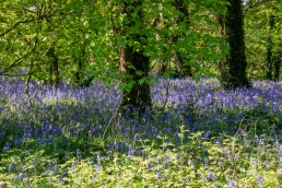 A bluebell wood at last
