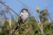 The Long-tailed Tits seem to be nesting near us this year.