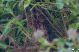 It took a while to find these Tawny Owls