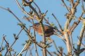 ... the Dartford Warbler will be nearby