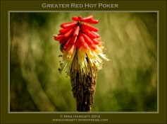 Greater Red Hot Poker