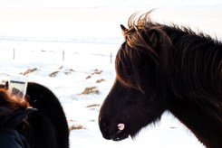 We stopped on the side of the road between Reykjavik and Akureryi to spend time with a herd of Icelandic Horses. Photo by Mike Higdon