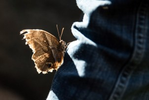 This butterfly landed on the back of my leg and didn't want to leave. I gave my camera to a fellow patron for him to take this picture. Photo by Unknown