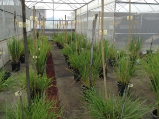 Inside the wild rices screenhouse - some plants in the foreground are flowering