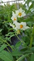 Solanum lignicaule, 2n=2x=24, from southern Peru
