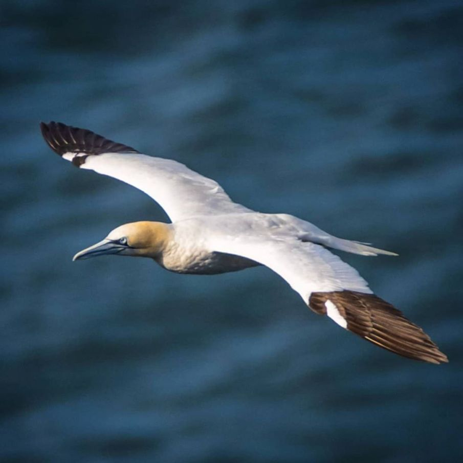 Gannet in flight. Difficult to focus; I need more practice.  #bemptoncliffs