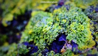Broccoli lichen