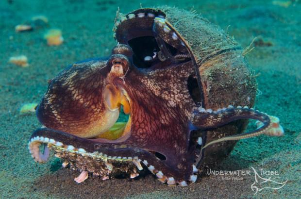 Coconut Octopus, Bali