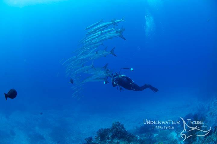 Barracuda and Diver