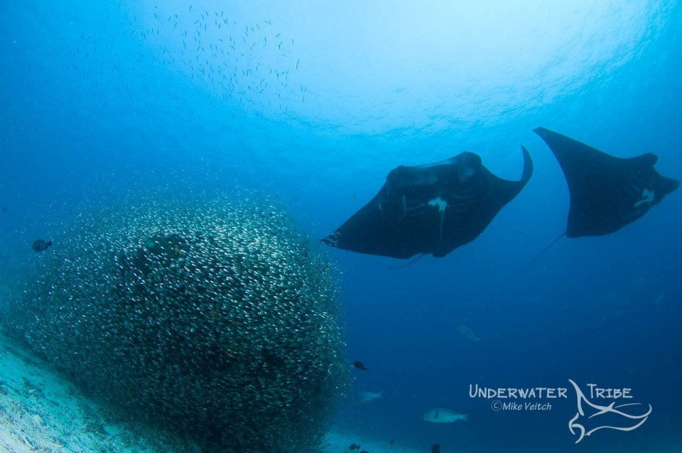 manta rays in Raja Ampat