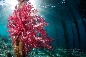 Soft Coral on Arborek Pier