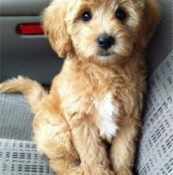 cute puppy passenger