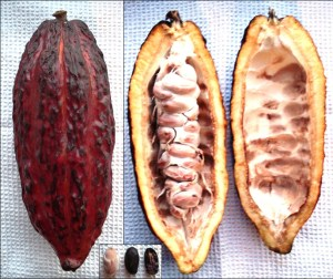 Theobroma_cacao_-_fruit,_from_inside,_beans