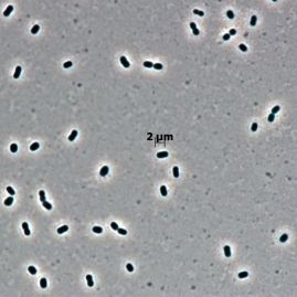 Moraxella osloensis (Quelle: DSMZ)
