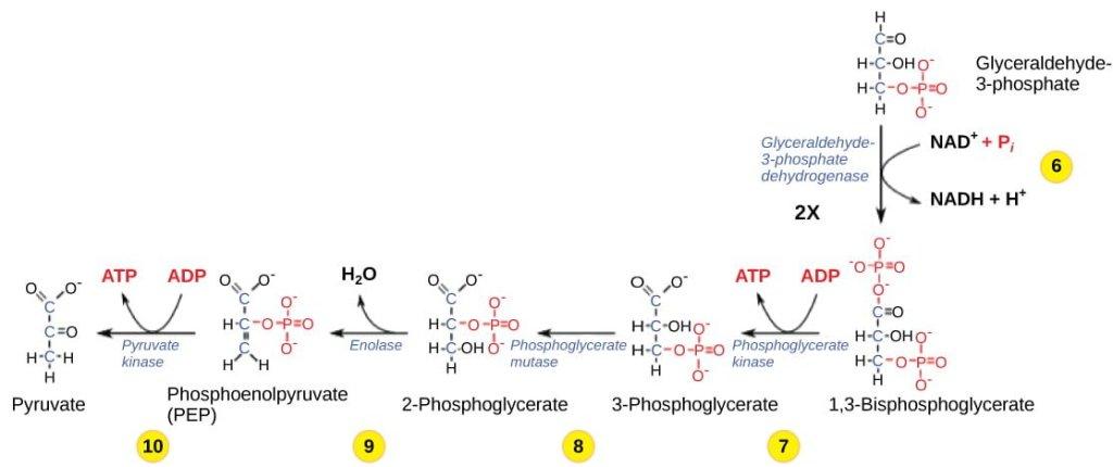 pemanenan energi pada glikolisis