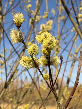 jiva, květový med