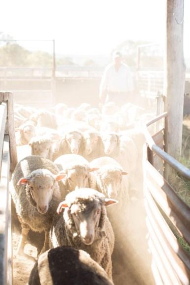 ACHILL, Sheep race