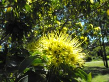 Xanthostemon Chrysanthus - Yellow flowers - Sherwood