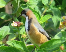 eastern-spinebill