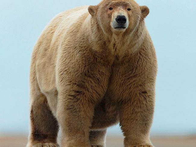 Fattest polar bear in the  world