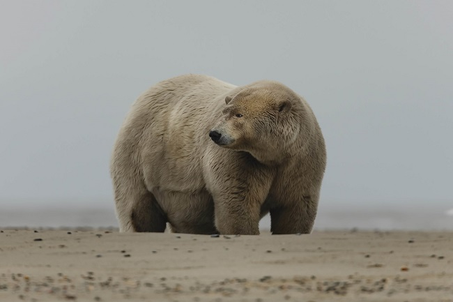 Fattest_Polar_Bear