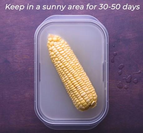 Rice water for starting corn