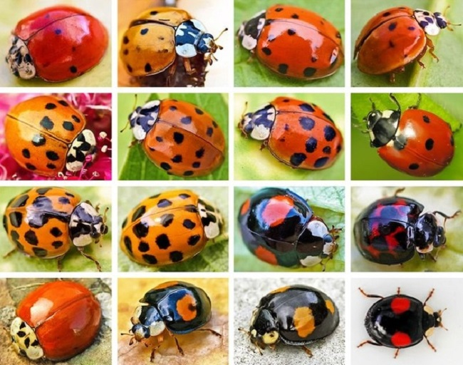 The number of spots on a ladybug