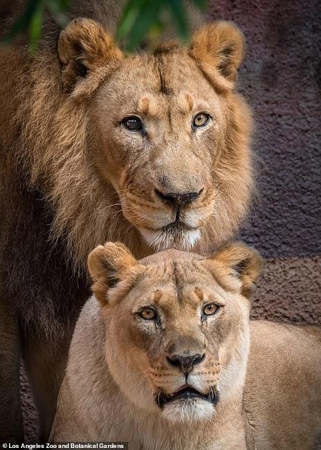 Unfortunately the lions were in declining health