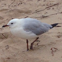 seagull-2