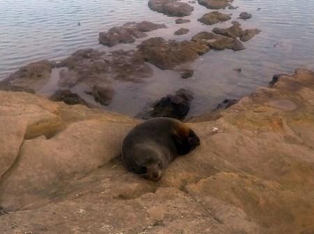 Mr Seal on Woody Island in Pitt Water