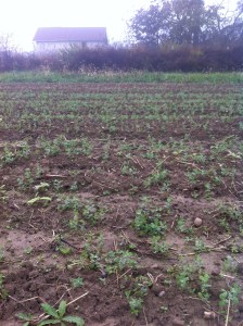 winter pea cover crop